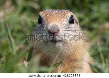 Young gopher on a background of green grass.