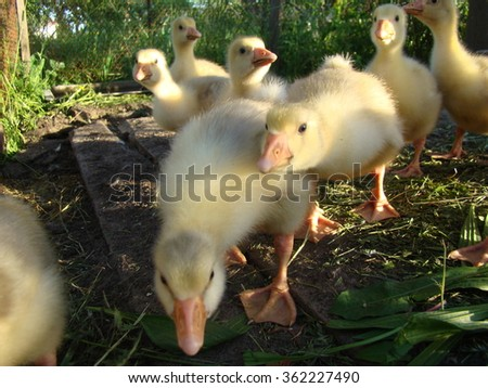 young goslings in a cage of the same age,a small group. - stock photo