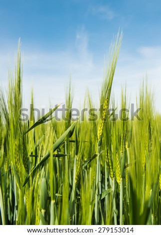 Young grain on the field with blue sky