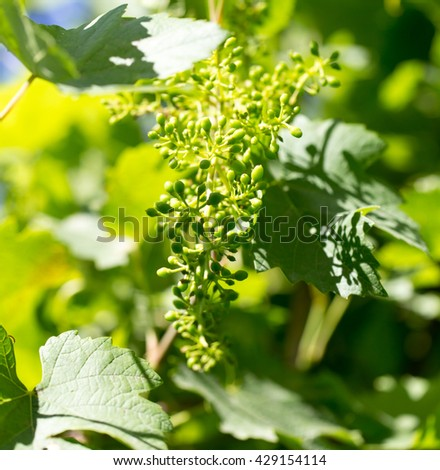 Young grape leaves in nature - stock photo