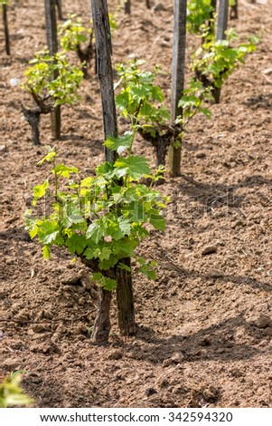Young grape plant in spring - stock photo