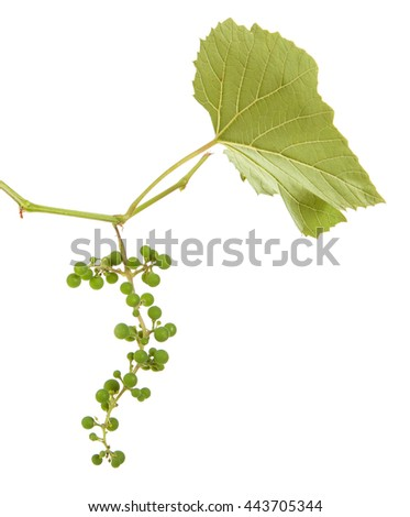 young grapes on a vine with leaves. isolated on white background