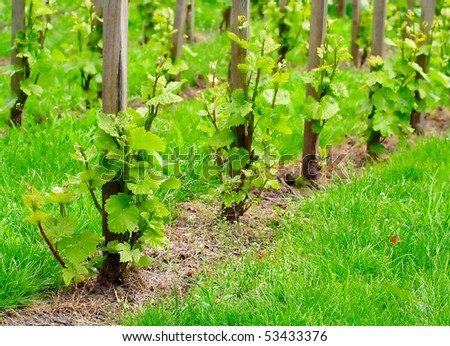 Young grapevine in the spring. Teleobjective shot with shallow DOF. - stock photo