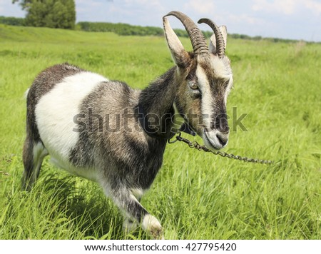 young gray and white goat with horns standing on the green grass