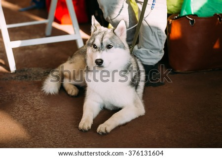 Young Gray And White Husky Dog Sitting On Floor