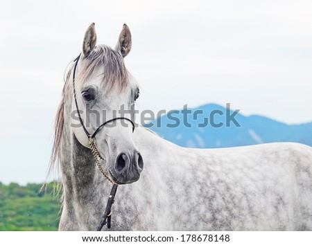 young gray arabian stallion