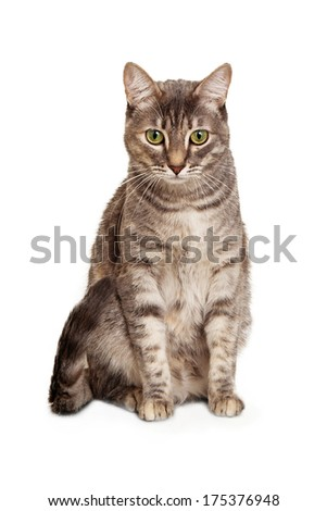 Young gray color tabby cat sitting isolated on white background looking down.