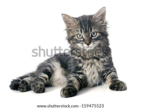 young gray kitten in front of white background
