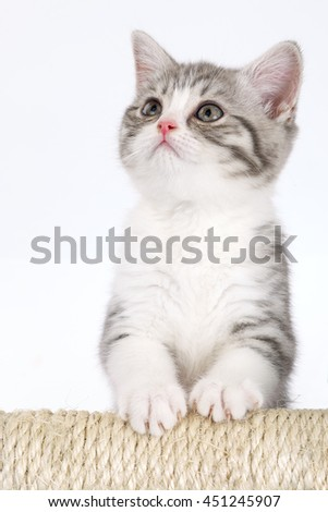 Young gray kitten on a white background looks at the top. Portrait of the Scottish cat.