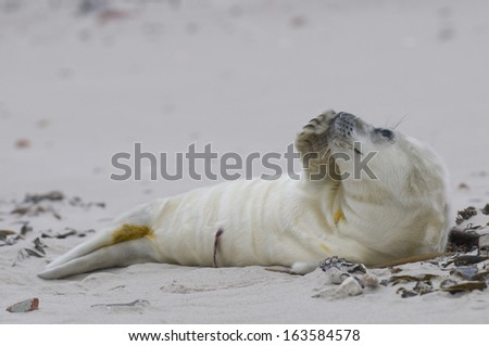 Young Gray seal (Halichoerus grypus), Wadden Sea, North Germany