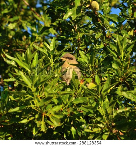 Young gray shrike among green branches of almond tree - stock photo