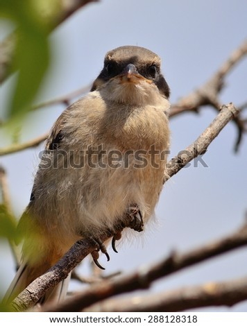 Young gray shrike looking attentively - stock photo