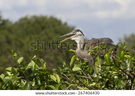Young Great Blue Heron in rookery at Green Cay - stock photo