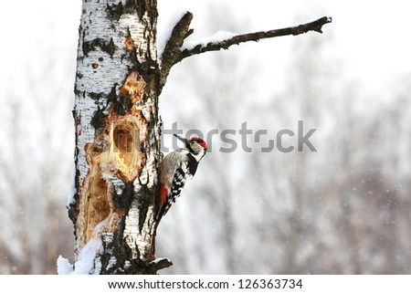 Young Great Spotted Woodpecker (Dendrocopos major) on birch in winter - stock photo