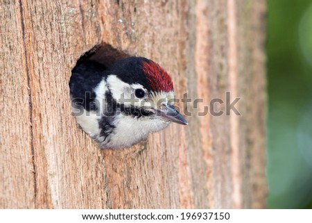 Young Great Spotted Woodpecker looks out of the nest cavity (Baarn, the Netherlands) - stock photo