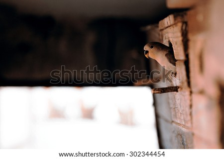 young green agapornis looking from birdhouse - stock photo