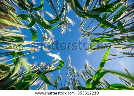 Young green barley corns growing in a field.And blue sky. - stock photo