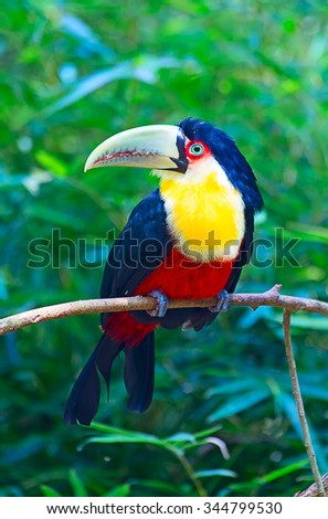 Young green billed toucan in the aviary - stock photo