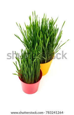 Young green Christmas wheat in a red and yellow pot on a white background.