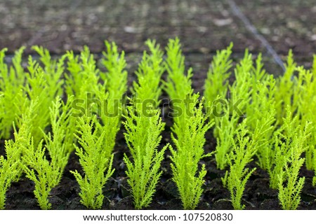 Young green conifers growing inside a greenhouse - stock photo