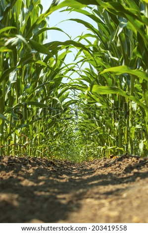 Young green corn in agricultural field. - stock photo