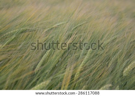 Young green corn on field, Poland landscape - stock photo