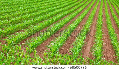 young green corn seedling on the field - stock photo