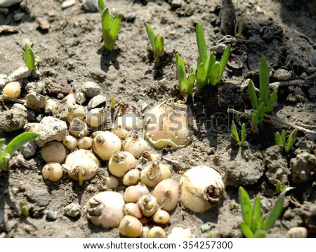 Young green crocuses growingin the garden     - stock photo
