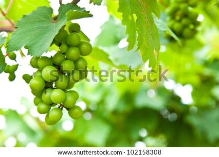 Young green grape on vine - stock photo