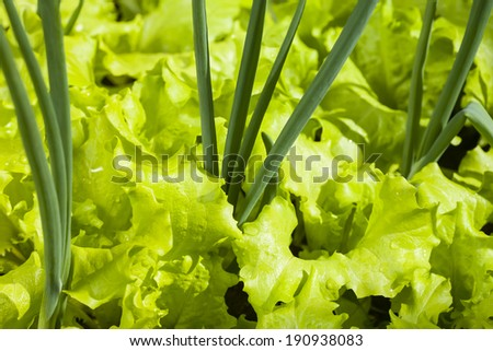 Young green leaf lettuce in the sun, a healthy diet.