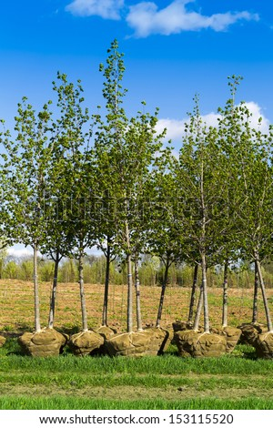young green leaf trees planting - stock photo