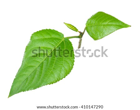 Young green leaves - stock photo