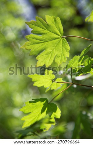 Young green leaves of maple in sunny day. - stock photo