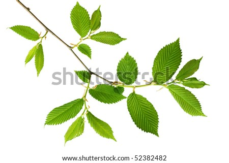 Young green leaves on the branch over white background