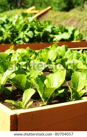 young green lettuce growing on vegetable bed - stock photo