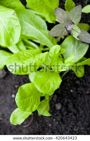 Young green lettuce in the garden in the spring