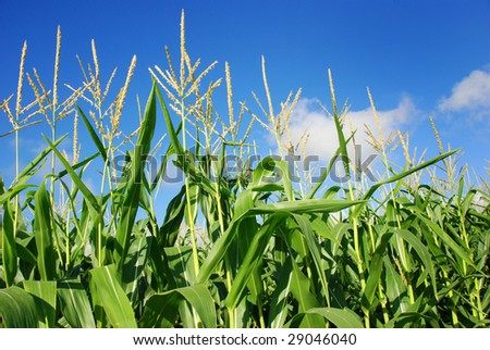 Young green maize plants - stock photo