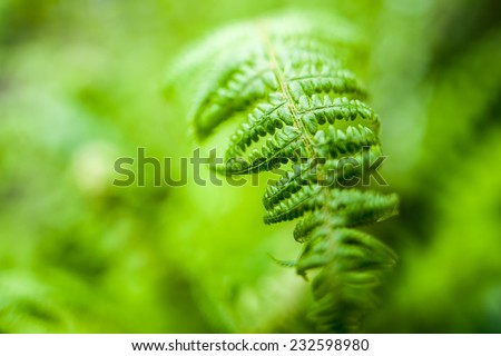Young green ostrich fern or shuttlecock fern leaves (Matteuccia struthiopteris) on blurred green background - stock photo