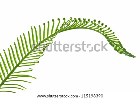 young green palm leaf isolated on white background - stock photo
