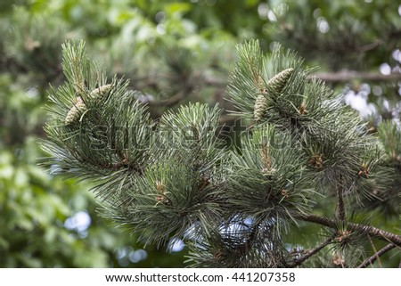 young green pinecone - stock photo