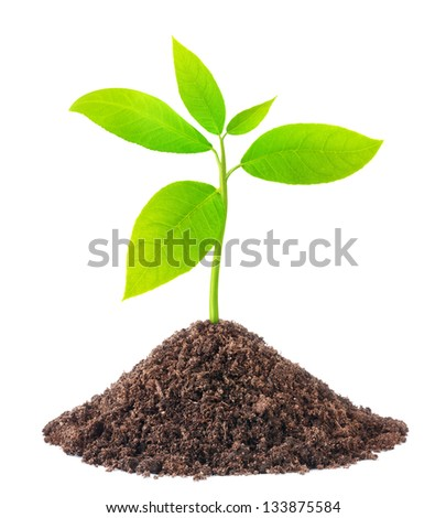 Young green plant growing from soil isolated on white - stock photo