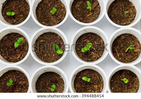 Young green plant seedlings in plastic white pots. Top view. - stock photo