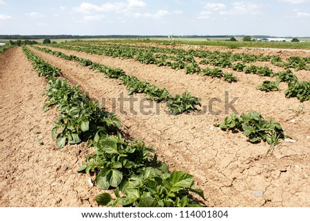 young green potato field agriculture nature landscape