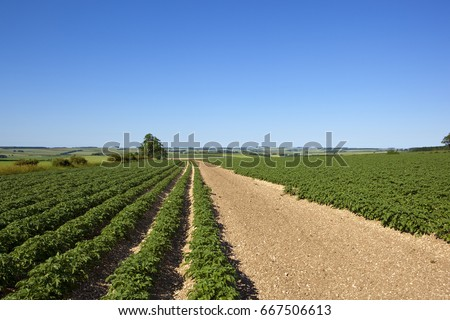 young green potato plants in rows on chalky soil in the yorkshire wolds under a clear blue sky in summer