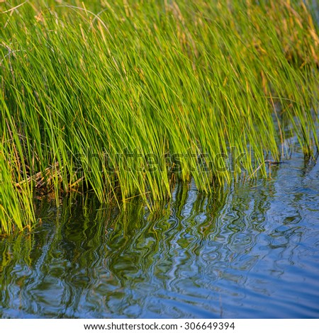 young green reeds and reflection in the water,  spring season - stock photo