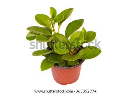 young green seedling passiflora plant in clay flowerpot isolated on white - stock photo