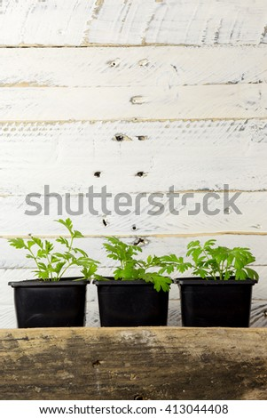 Young green seedling shoots of Feverfew Tanacetum parthenium traditional medicinal herb on white background, gardening and horticulture - stock photo