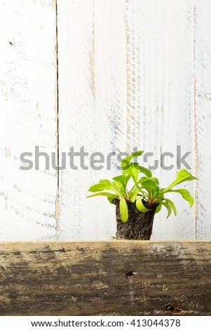Young green seedling shoots of Swiss chard roots in wet soil cubes, gardening and horticulture - stock photo
