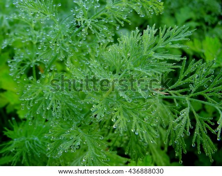 Young green shoots of fennel, parsley and other greenery entirely covered with drops of morning dew./Dill in the dew/Sprig of fennel sprinkled with dew, closeup - stock photo