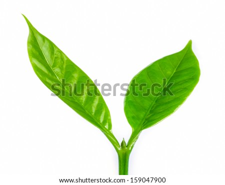 Young green sprout with leaf of coffee tree. - stock photo